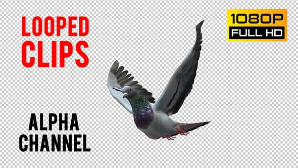 Thumbnail for Pigeon Looped 2