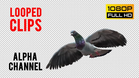 Thumbnail for Pigeon Looped 3