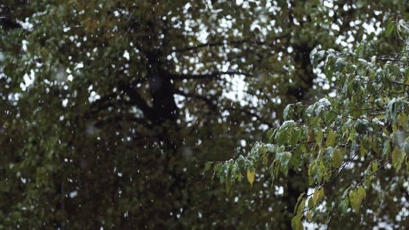 Thumbnail for View of Snowfall. Snow Falling Down From Sky To Green Leaves of the Tree