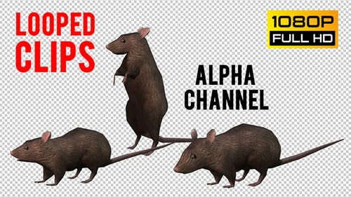 Rat Looped