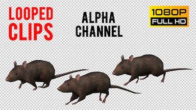 Rat Looped 2