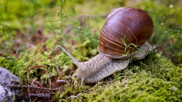 Thumbnail for Helix Pomatia Also Roman Snail, Burgundy Snail