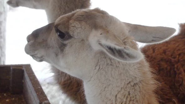 Cover Image for Cute Llamas Eating Vegetables