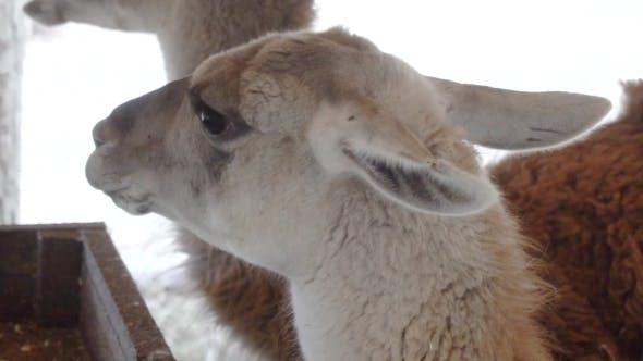 Thumbnail for Cute Llamas Eating Vegetables