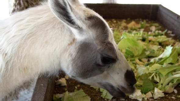 Thumbnail for Cute Llamas Eating Vegetables