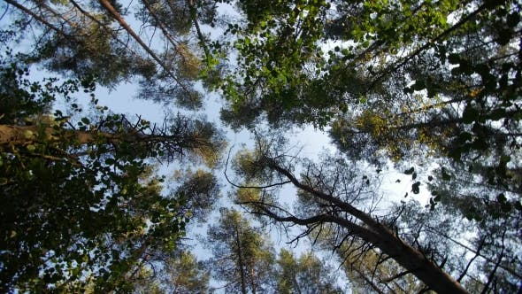 Thumbnail for Look Up To the Blue Sky in Green Woods Through the Tall Trees, Rotating and Dreaming