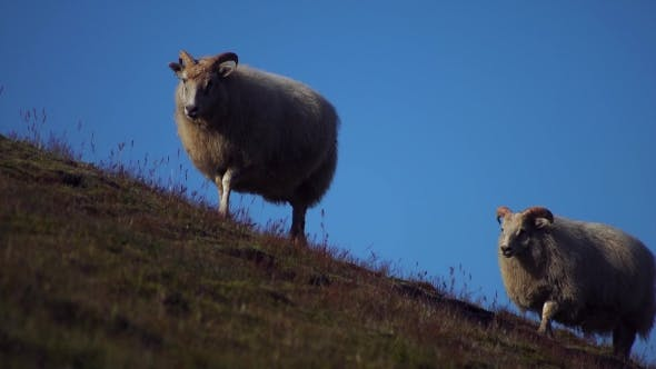 Thumbnail for Sheep Walking Up Hill in Iceland