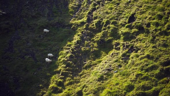 Thumbnail for Sheep Walking in Iceland