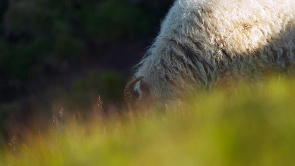 Thumbnail for Sheep Eating Greenery in Iceland