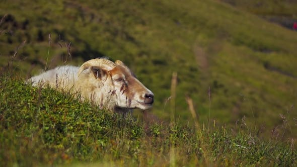 Thumbnail for Sheep Chewing Grass in Iceland