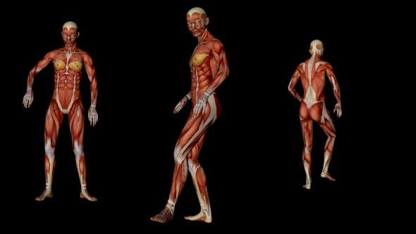 Muskuläre Tänzerin