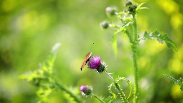 Thumbnail for Butterfly  on a Flower in