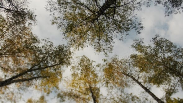 Thumbnail for Awesome Autumn Forest The Tops of the Trees Bear Against the Blue Sky Falling Leaves