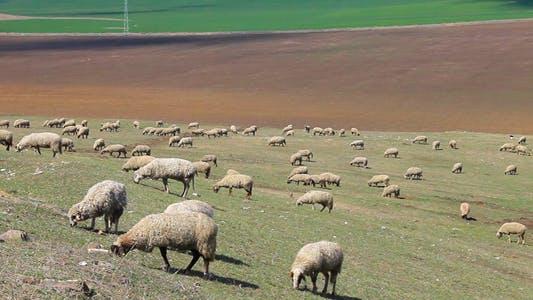 Thumbnail for Sheep Grazing Grass