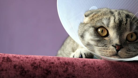Thumbnail for Sick Scottish Cat in a Plastic Protective Collar