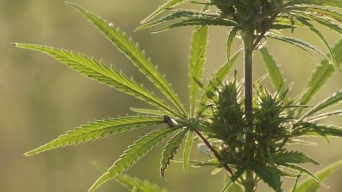 Shot of Marijuana
