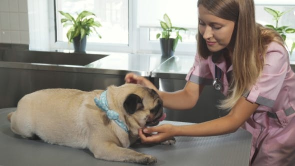 Thumbnail for The Vet Is Checking Up the Pug Dog