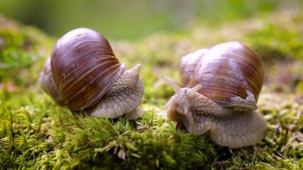 Thumbnail for Helix Pomatia, Burgundy Snail