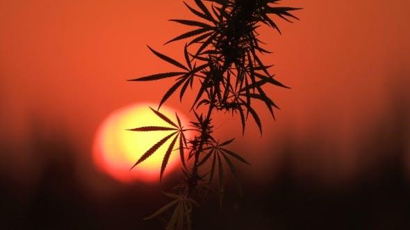 Thumbnail for Shot of Marijuana at the Sunset Background.
