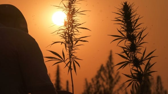 Thumbnail for Medium Shot of the Man Processing the Marijuana Field in the Sunset Background.