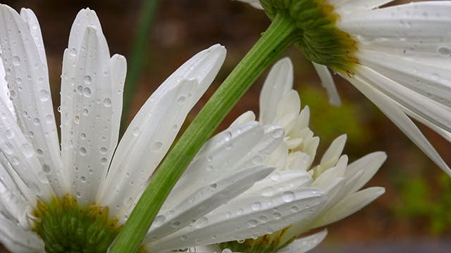 Thumbnail for Daisy petals with raindrops.