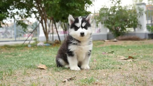 Cute Puppy Dog Siberian Husky Two Months Sitting