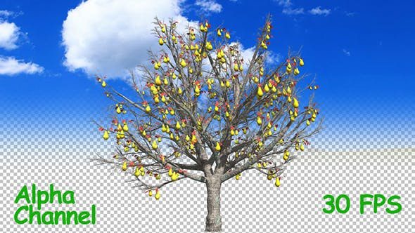 Thumbnail for Pear Fruit On the Tree