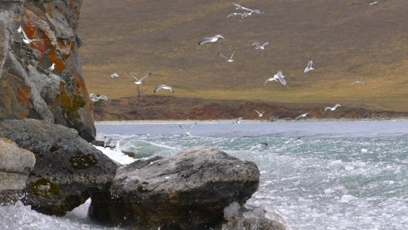 Thumbnail for Flock of Seagulls Fly Over Lake. Baikal Lake, Russia.