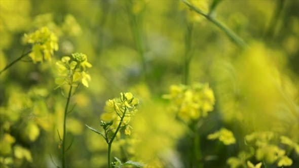 Thumbnail for Mustard Flowers. Mustard – Mystical Flower of Happiness and Health