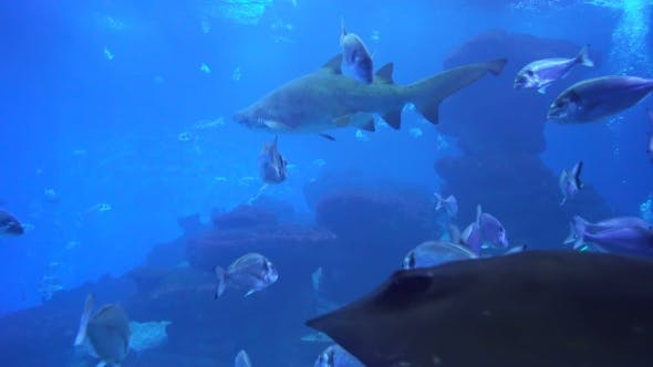 Thumbnail for Predatory Sharks and Other Marine Life