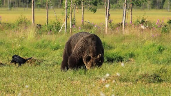 Cover Image for Brown Bear Ursus Arctos in Wild Nature Is a Bear That Is Found Across Much of Northern Eurasia