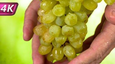 Harvesting the White Grapes Harvest