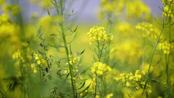 Mustard Flowers. Mustard – Mystical Flower of Happiness and Health.
