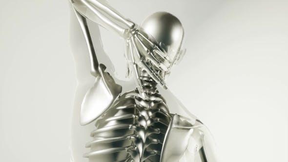 Thumbnail for Human Skeleton Bones Model with Organs