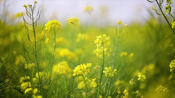 Thumbnail for Mustard Flowers. Mustard – Mystical Flower of Happiness and Health.