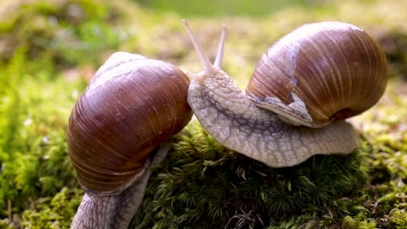 Cover Image for Helix Pomatia Also Roman Snail, Burgundy Snail