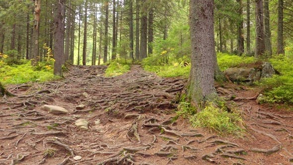 Thumbnail for Tree Roots in a Magic Pine Forest