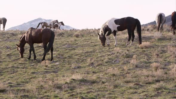 Thumbnail for Wild horses grazing along the horizon