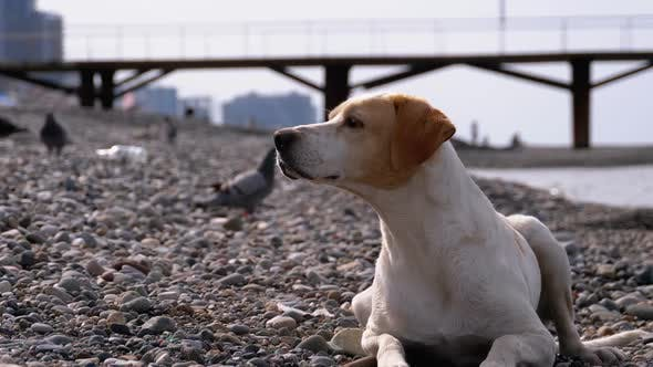Thumbnail for Stray Dog Lies on a Stone Shore of the Sea. Hungry, Wild and Unhappy Homeless Dog