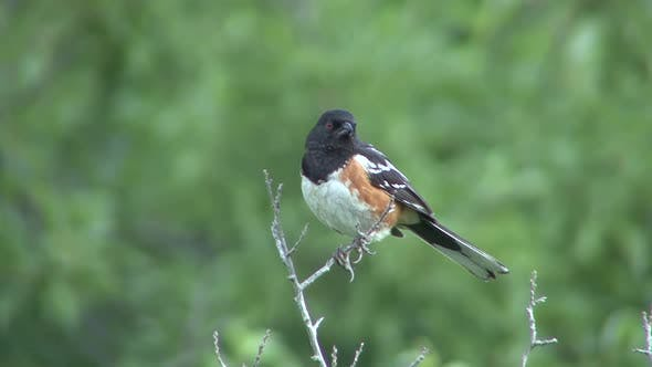 Spotted Towhee Male Adult Lone Perched in Spring in South Dakota
