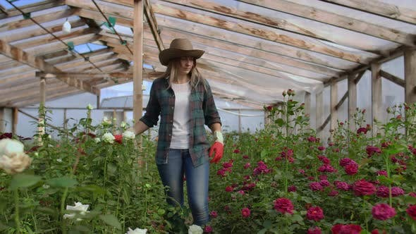 Thumbnail for A Female Gardener Is Walking in a Gloved Greenhouse Watching and Controlling Roses Grown for Her