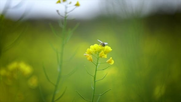 Thumbnail for Bee Collects Nectar From Mustard Rapeseed Flower