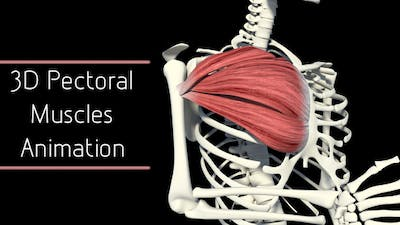3D Pectoral Muscles Animation