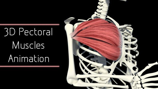 Thumbnail for 3D Pectoral Muscles Animation