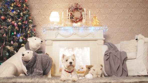 Thumbnail for Two Adorable West highland Dog white terrier dogs waiting for Christmas