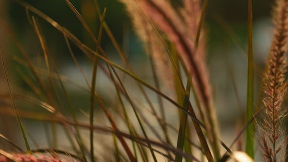 Thumbnail for Beautiful Grass Ear Spikes at the Sunset