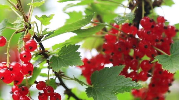 Thumbnail for Ripe Red Currant Bushes