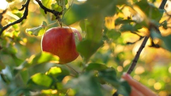 Thumbnail for Woman Pick an Apple