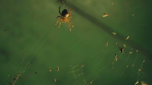 Spinne fängt Opfer