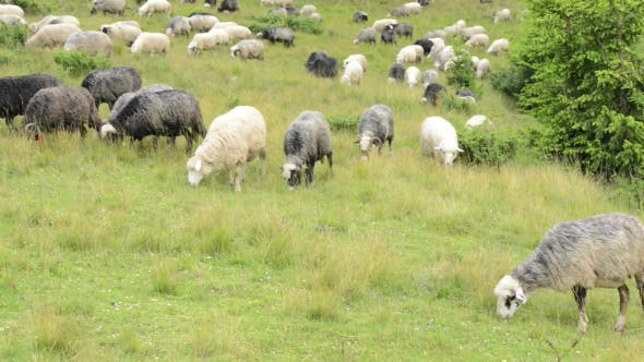 Cover Image for Herd of Sheeps on Green Meadow